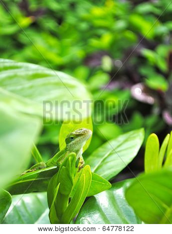 A small green hawaiian chameleon looks right at the camera while sitting on a leaf in Kauai stock photo