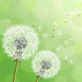 Green Background With Two Flowers Dandelions
