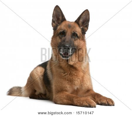 German Shepherd, 5 years old, in front of white background stock photo