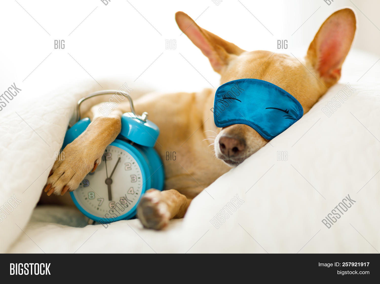 Chihuahua Dog In Bed Resting Or Sleeping , With Alarm Clock  Ringing In  Bedroom Under The Blanket ,