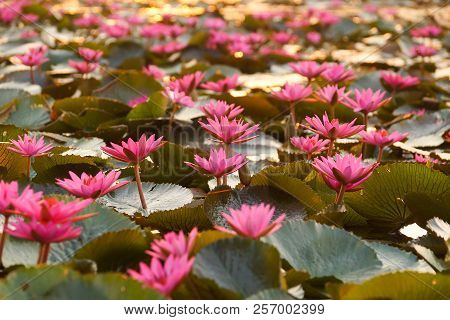 Water Lily in the lake / Nymphaea lotus Linn. stock photo