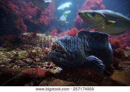 Blue Toothy Monster, living on the seabed stock photo
