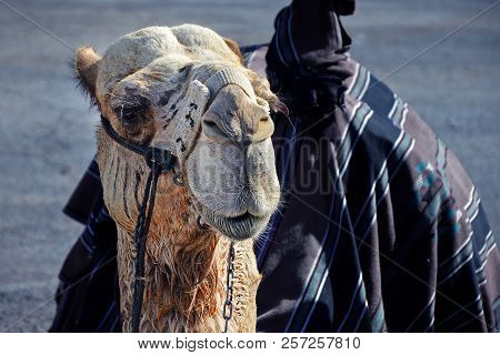 The muzzle of a camel close-up. Entertainment for tourists near Jerusalem in Israel, riding a camel. stock photo