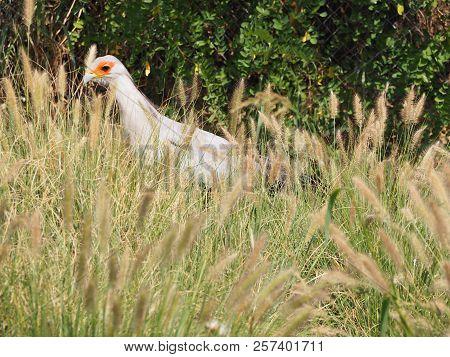 Photography that is showing a secretary bird (scientific name: Sagittarius serpentarius) stock photo