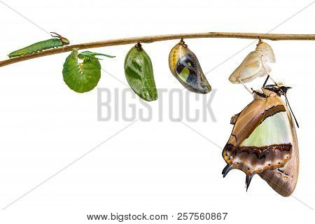Isolated transformation and life cycle of common nawab butterfly ( Polyura athamas ) from caterpillar chrysalis hanging on twig , metamorphosis , growth with clipping path stock photo