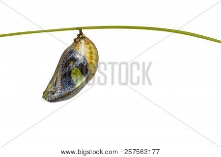 Isolated mature chrysalis of common nawab butterfly ( Polyura athamas ) in four side with clipping path , metamorphosis , growth stock photo