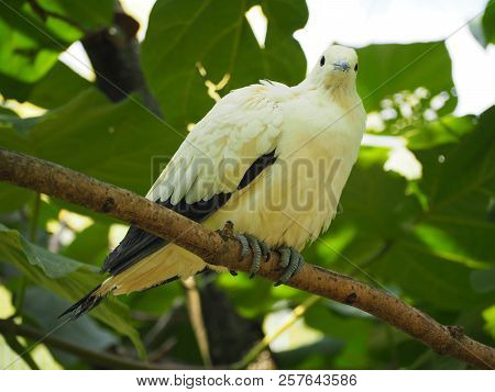 Photography that is showing a pied imperial pigeon (scientific name: Ducula bicolor) stock photo
