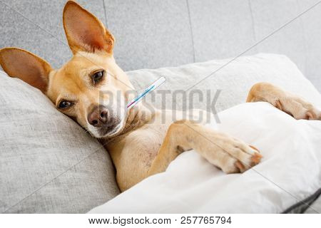 sick ill chihuahua dog in bed with thermometer , fever and temperature with  a cold and flu stock photo