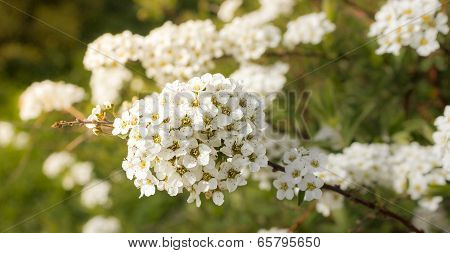 Delicate blossoms Spirea Vangutta, Spiraea vanhouttei, May afternoon. stock photo