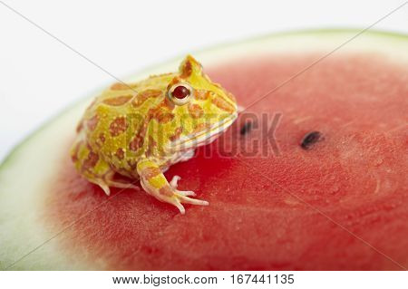 Argentine Horned Frog (Ceratophrys ornata) is on watermelon also known as the Argentine wide-mouthed frog or ornate pacman frog from the grasslands of Argentina Uruguay and Brazil. stock photo