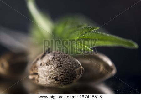 Macro detail of marijuana seeds and leaf over dark reflective background - cannabis growing concept stock photo