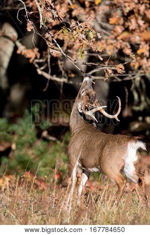 Large White-tailed Deer Buck-Lg Fridge Magnet Skin (size 36x65)