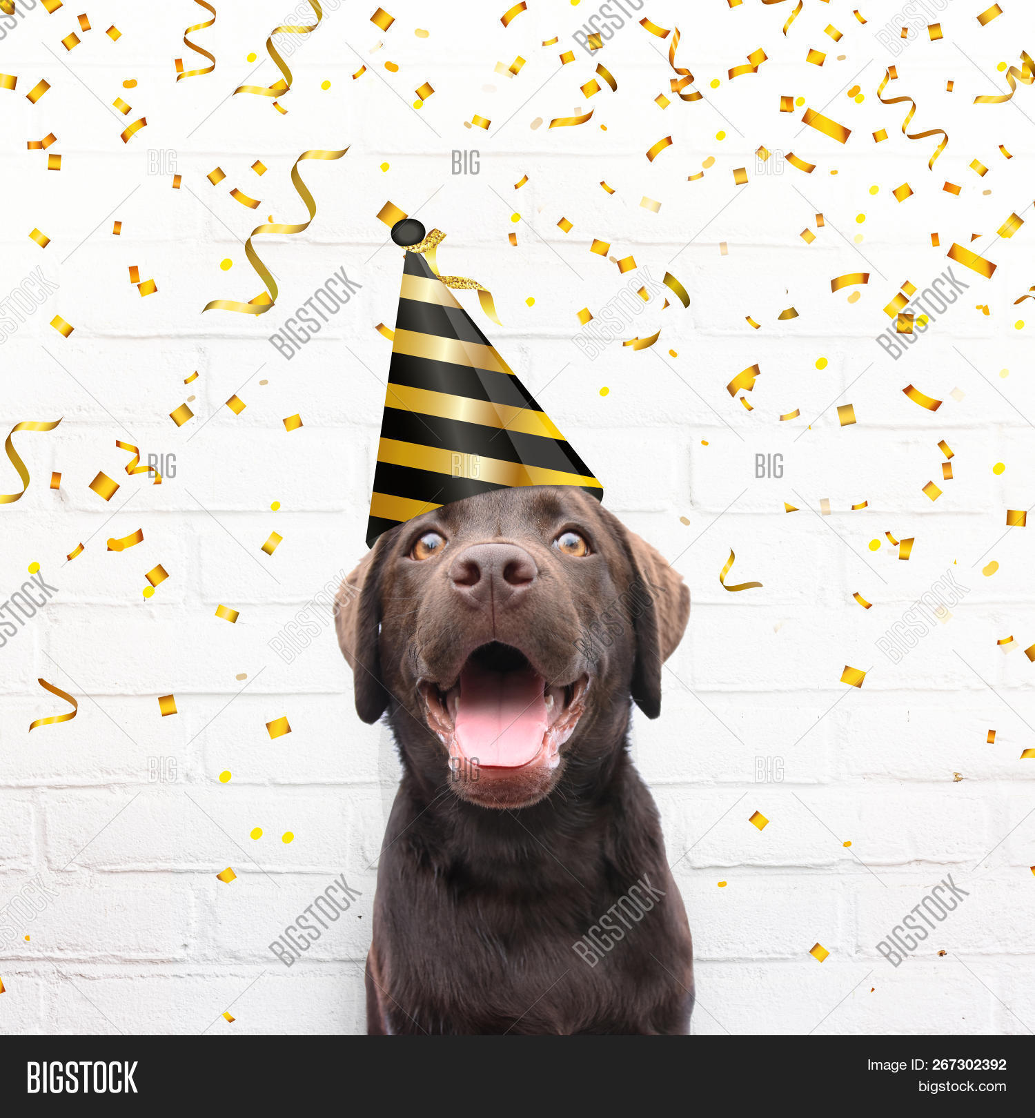 animal,background,birthday,brick,brown,cap,card,celebration,close,concept,confetti,congratulations,crazy,cute,day,dog,enthusiastic,eyes,face,front,funny,garlands,gold,happiness,happy,hat,head,holiday,humor,joke,labrador,lover,mouth,party,pet,portrait,puppy,shine,smile,smiling,square,studio,teeth,up,view,wall,white,world
