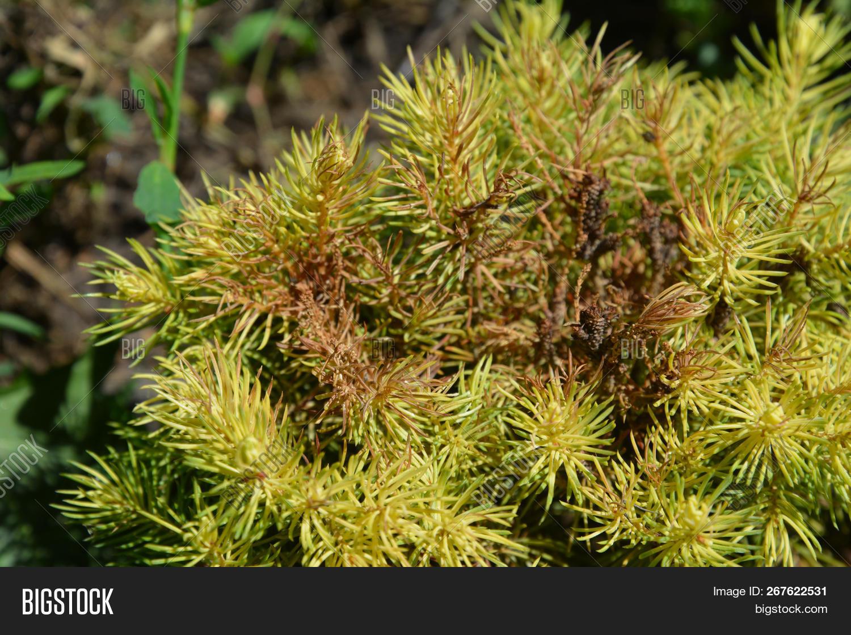 bad,conica,glauca,mite,picea,problem,red,spider,tetranychus,tree,urticae