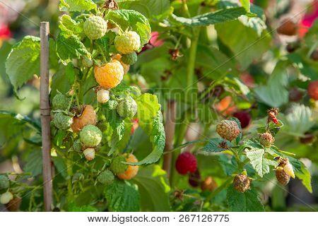 Yellow raspberry. Oranically clean raspberry growing on bush. stock photo