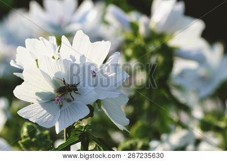 lavatera white dwarf pink blush beautiful white flower with pink stripes from the core, little bee in the center of the flower, an insect covered with white pollen, background stock photo