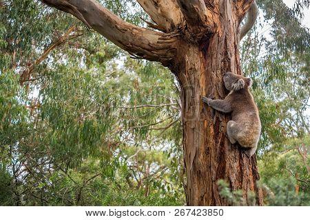 Wild koala in climbing up a tree in Adelaide Hills, South Australia stock photo