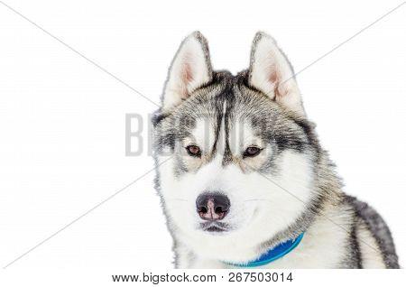 Picnetz One Siberian Husky Dog Close Up Portrait Of Husky Breed