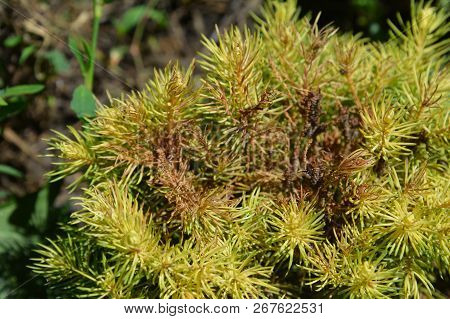 Tetranychus urticae (common names include red spider mite and two-spotted spider mite) on Picea glauca var. albertiana Conica Rainbow's End. Red spider mite. stock photo