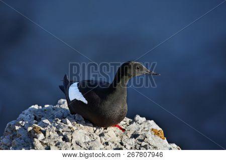 Black guillemot or cepphus grylle on the rock  stock photo