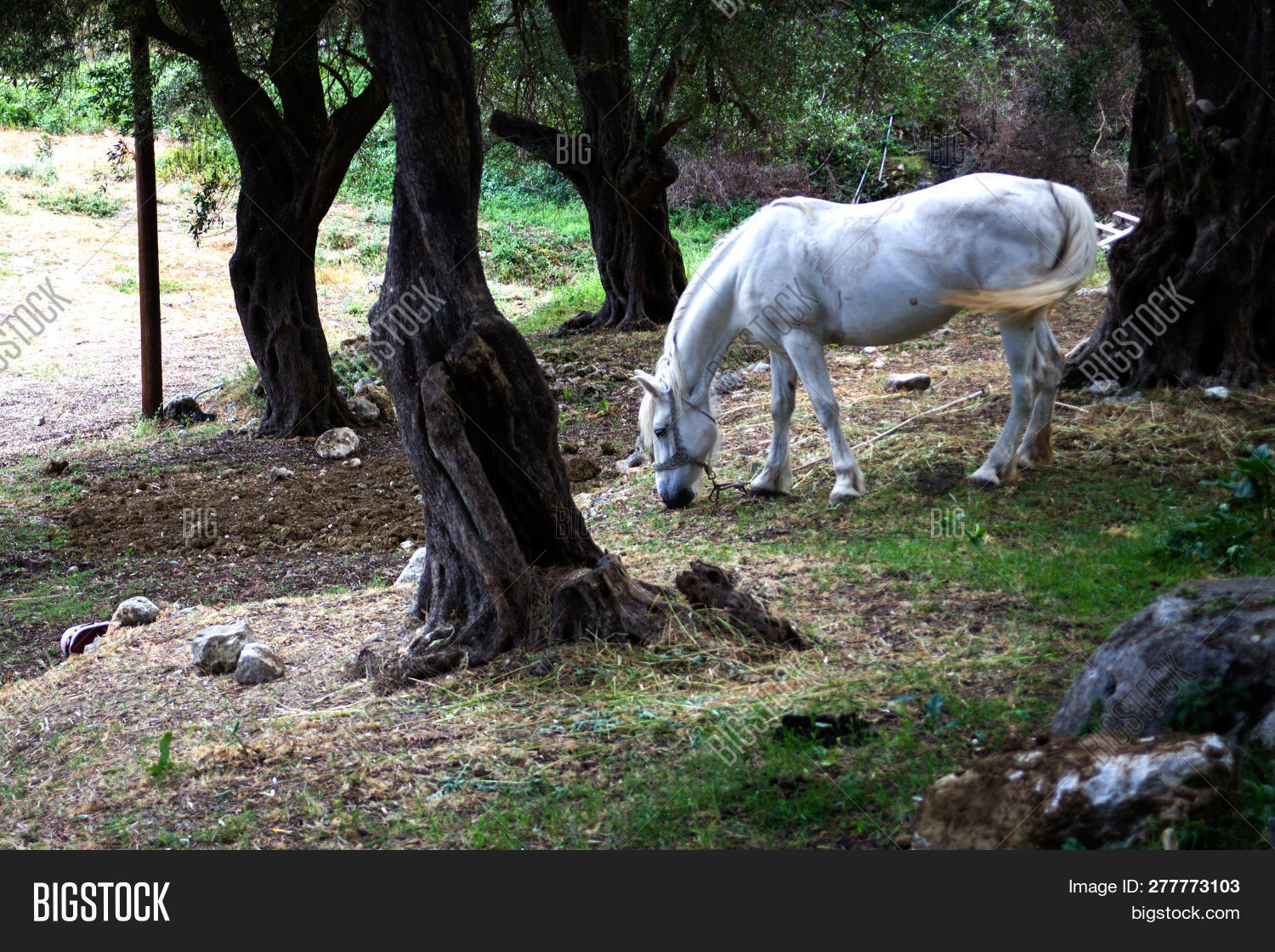 agriculture,animal,breed,bridle,country,countryside,dark,dirt,domestic,dry,eating,environment,equine,farm,field,forest,grass,grazing,green,horse,land,landscape,life,mammal,mane,mare,nature,one,outdoor,pasture,pony,ranch,rural,sand,soil,stallion,standing,steed,stud,surrounding,tail,territory,tree,trunks,under,white,wood