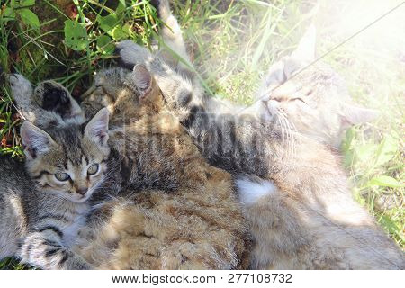 Family of cats bask. Rest of feline family. Gray cats sleep next to each other on green grass. Feline relaxation. Father moter and kitten are asleep. Cats with kittens bask in sunny rays stock photo