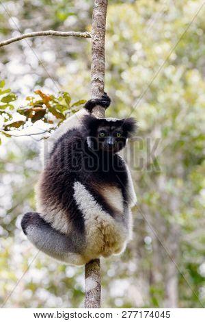 Lemur Indri (Indri indri), also called the babakoto, hanged on tree. Indri is the largest living lemur. Andasibe - Analamazaotra National Park, Madagascar wildlife stock photo