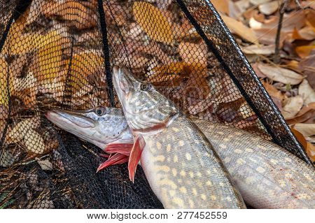 Good catch. Just taken from the water big freshwater common bream known as bronze bream or carp bream (Abramis brama) and white bream or silver bream in landing net with fishery catch in it and fishing rod with reel  on vintage wooden background. stock photo
