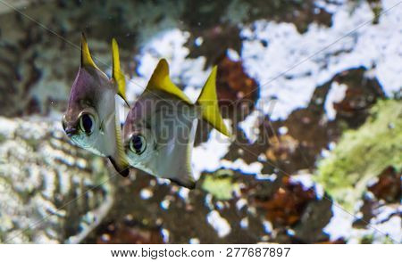 two silver moony fishes swimming next to each other, tropical fishes from the Indian ocean stock photo