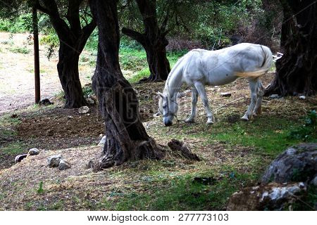 Animal with Bridle alone in the Woods. White Horse Grazing in Forested Area. Dark Old Tree Around the Mare. Dirty Sand and Dry Soil Scattered on Farm Land stock photo