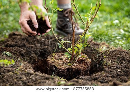 Man is planting a pot plant Rubus fruticosus into the garden, soil, bark mulch and gardening stock photo