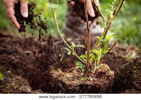 Male Gardener mulching a planting blackberry, gardening and garden care of plants stock photo