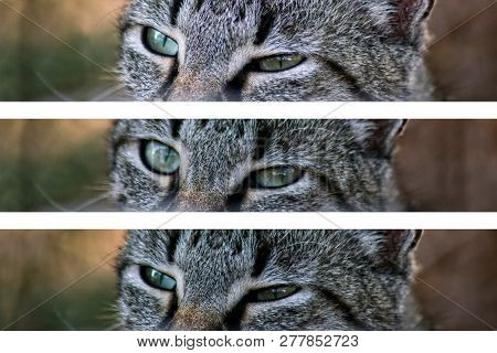 Eyes of a gray cat. Cat eyes in collage of three photos. Blurred background of nature. stock photo