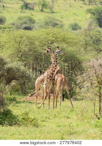 pair of Masai Giraffe (scientific name: Giraffa camelopardalis tippelskirchi or