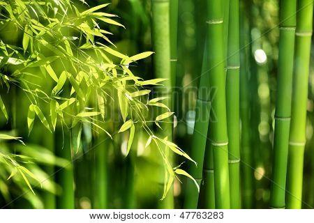 Forêt de bambous asiatiques avec le soleil du matin.