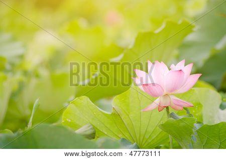 Fleur de lotus matin dans la ferme sous les chaud rayons du soleil.
