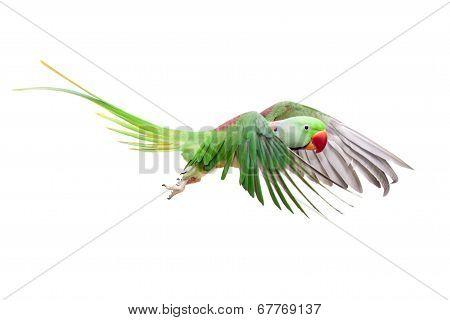 Big green ringed or Alexandrine parakeet - Psittacula eupatria - male isolated over white background stock photo