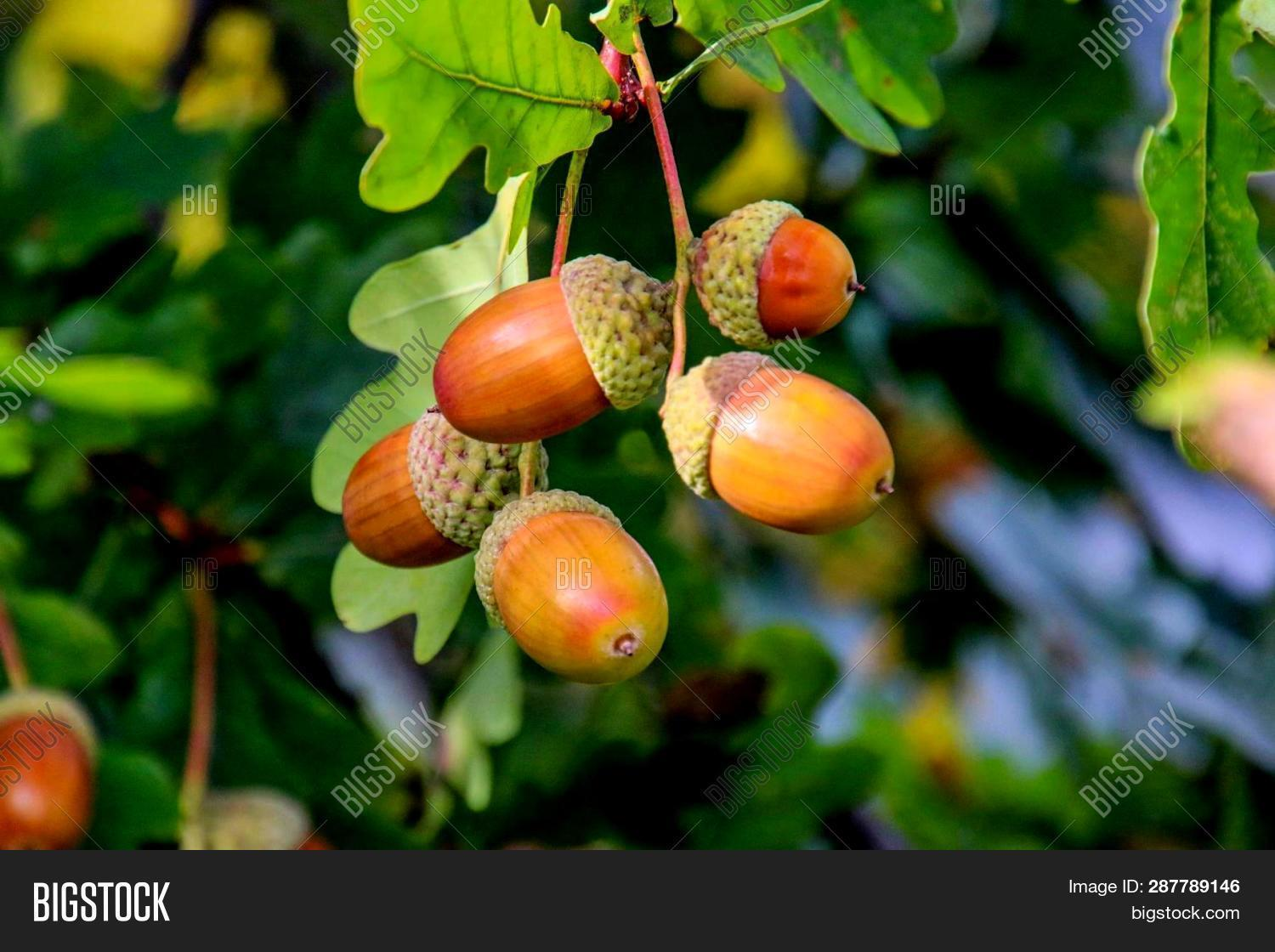 Acorns Fruits On Oak Tree Branch In Forest. Closeup Acorns Oak Nut Tree On Green Background. Early A