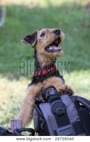 Airedale Terrier puppy playing with a backpack