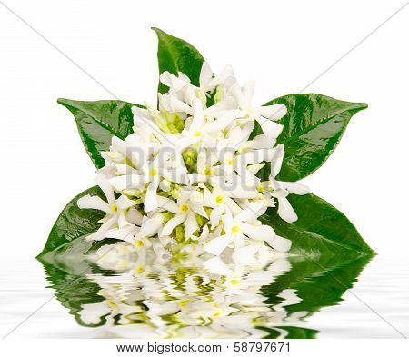 Jasmine flowers with reflection in water on white background stock photo