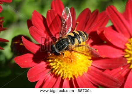 this is a close up of a bee gathering pollen in early fall season. vibrant color! stock photo