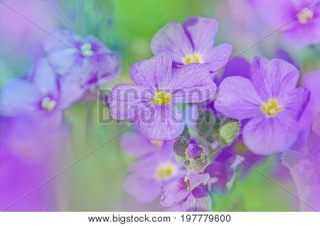 Close up of purple blossoms of Aubrieta flowers. Purple rock cress Aubrieta deltoidea stock photo