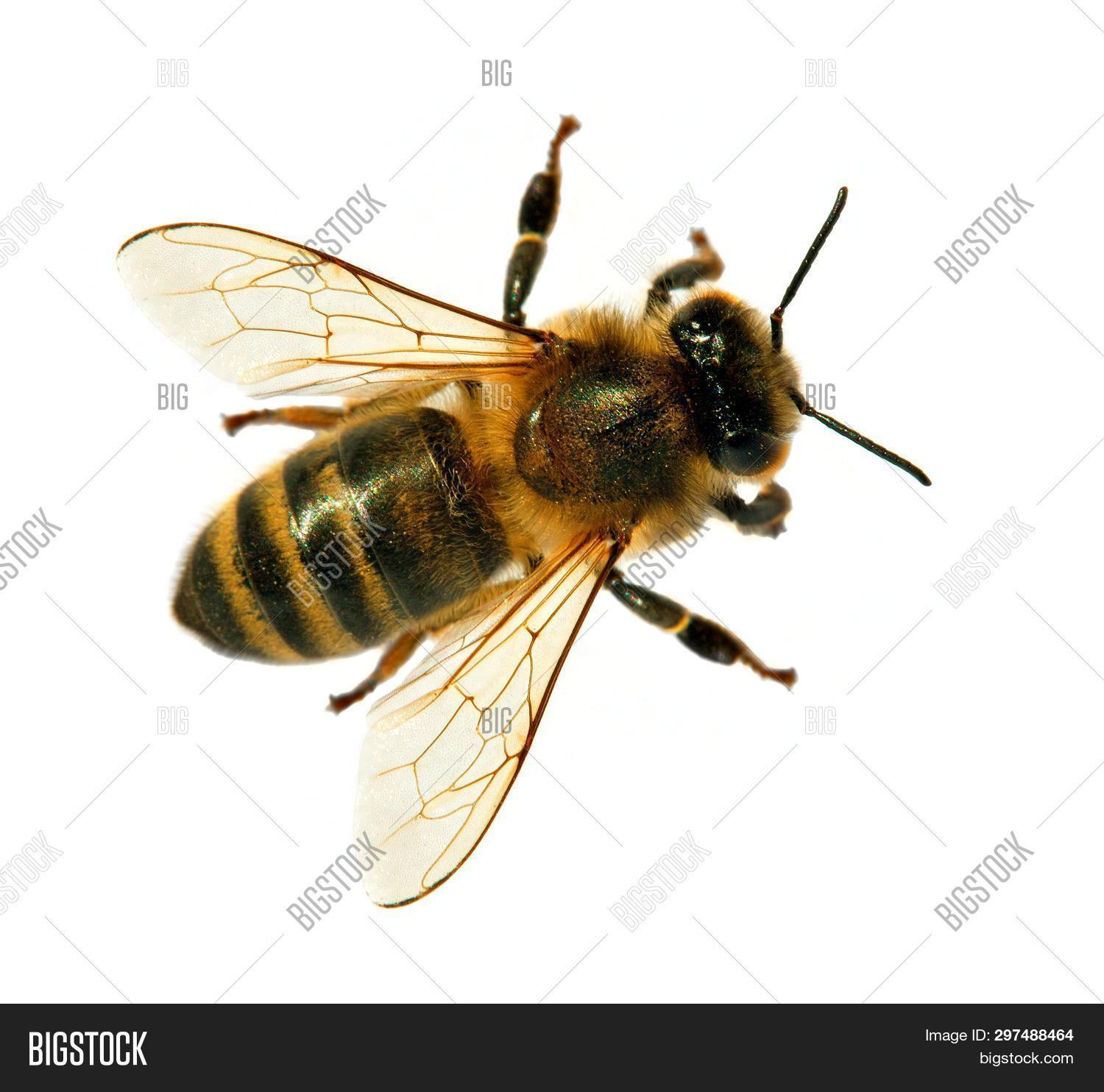 animal,apis,background,beautiful,beauty,bee,bug,close,close-up,closeup,color,cut,detail,distribute,european,eye,flower,fly,garden,gathering,gold,golden,honey,honey-bee,honeybee,insect,isolate,isolated,macro,mellifera,nature,pollen,pollinate,pollinated,pollinating,pollination,pollinator,proboscis,rostrum,single,small,spring,springtime,up,view,white,wild,wing,yellow