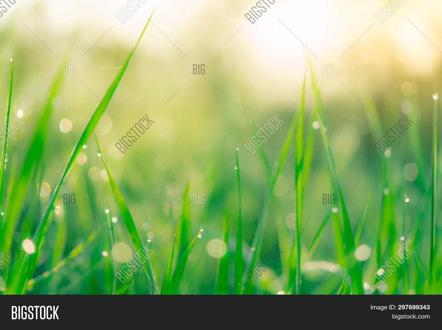 Blurred Fresh Green Grass Field In The Early Morning With Morning Dew. Water Drop On Tip Of Grass Le