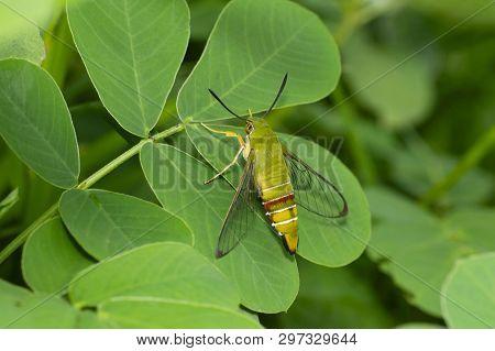 Clearwing Coffee bee hawk moth near Pune, Maharashtra, India stock photo
