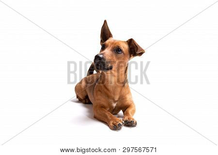 Young And Small Brown Dog Isolated On A White Background. Age 1,5 Years, Mixed Breed. Dog At Studio,