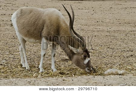 Addax in Hai-Bar Yotvata nature reserve 25 km from Eilat,Israel stock photo