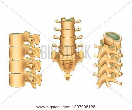 Vector illustration of lumbar vertebrae and sacrum stock photo
