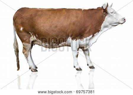 cow isolated on white. Cow Isolated On White stock photo