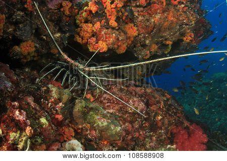 Spiny Lobster stock photo